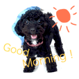 Black Toy Poodle Basic English Stickers!
