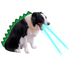 邊境牧羊犬DiDi—哥吉弟寶の第三彈