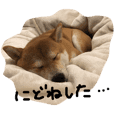 ichi !! shiba-dog
