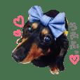 Miniature dachshund fuuchan2