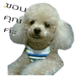 สุนัขพันธุ์พุดเดิ้ล ทอยส์