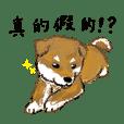 How cute shibainu shibachan's!