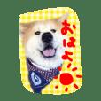 秋田犬とまとfamily②