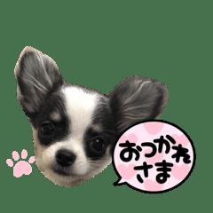 ホルスタイン犬チワワのナナちゃん挨拶編