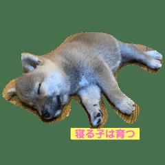 柴犬♪メヌエット メッセージスタンプ