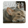 Cat_Abyssinian
