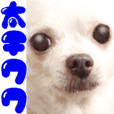 奇瓦瓦男孩 ♡可愛的狗 ☆照片