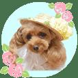 Poodle Moka sticker
