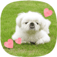 "Cute Pekingese ""Ten"""