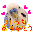 Greeting from Budgerigar4