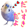 Greeting from Budgerigar5