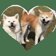 秋田犬 桃次郎と花子