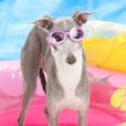 BELNA(Italian greyhound)