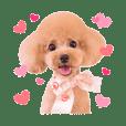 Toy poodle Nene 1