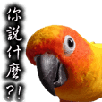 可愛的金太陽鸚鵡情侶,芒果和奇異果的日常