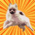 Pomeranian Taro