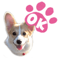 It is cute corgy