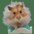Golden Hamster~MoMoJai~ 3