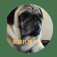 函館在住のパグ☆玉男 2