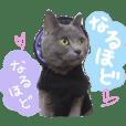 British short hair gray Cat MISAO 3