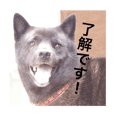 日本犬 甲斐犬 くーちゃん 写真スタンプ