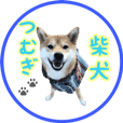 柴犬つむぎ8