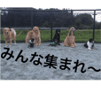 ゴールデン甘えん坊ビート(犬友編)