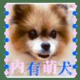 Pomeranian dog-NiuNiu