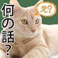 Cat Himawari