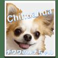 Luna-Chan of Chihuahuas