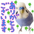 Greeting from Budgerigar7