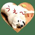 グレートピレニーズちょび&ちょっぴり猫s