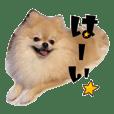 """Pomeranian """"Natsuko"""""""