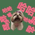 西施犬chubi&olafの日常生活