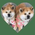 秋田犬 ポチ&ハチ
