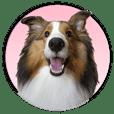 Shetland Sheepdog ''Ako''
