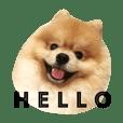 Kuma de Bear - The Funny Pomeranian