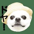 Chihuahua's coo 2