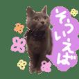 ブリティッシュショートヘア 灰色猫みさお4