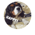 Cavalier King Charles Spaniel/cute dog!