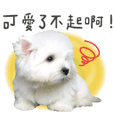 West Highland White Terrier-King