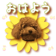 Gentle nature toy poodle(3)