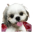 shih-tzu girls tolk