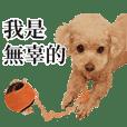 HANA's Life (Toy poodle)