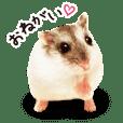 hamster umaru