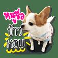kaow-hom Chihuahua dog