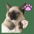 マンチカン猫、姫の写真スタンプ 英語 ver