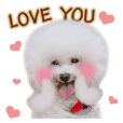 Bichon Frise is so cute