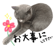 British short hair gray cat MISAO 6