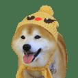 柴犬ヤン君 ハマヤン3